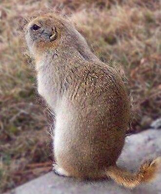 Richardson's ground squirrel - In a suburban environment