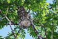 Flickr - ggallice - Arboreal nest.jpg