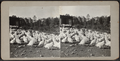 Flock of chickens, from Robert N. Dennis collection of stereoscopic views 2.png