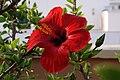 Flor d'Hibiscus - Flickr - tgrauros.jpg