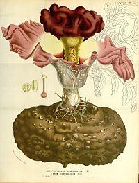 Flore des serres v15 193a.jpg