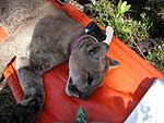 Florida Panther Radio Collaring Research (1), NPSPhoto (9257858304).jpg