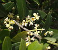 Flors arbequina 2487.JPG
