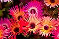 "Flower, Livingstone Daisy ""Lumine"" - Flickr - nekonomania (1).jpg"