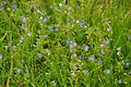 Flowers in Oxwich Burrows (5204).jpg