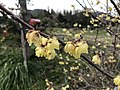 Flowers of Chimonanthus praecox 20180227.jpg