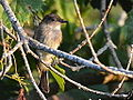 Flycatcher (7708167422).jpg