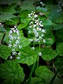 Foamflowers (14101200040).jpg