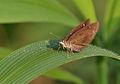 Forest Hopper (Arnetta mercara) I IMG 0160.jpg