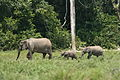 Forest elephant family (6987538203).jpg