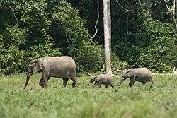 une famille d'éléphants des forêts, traversant une clairière