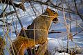 Fox Squirrel (Sciurus niger) (16756760102).jpg