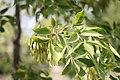 Fraxinus ornus - Crni jasen (2)45.jpg