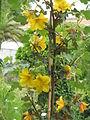 Fremontodendron californicum01.jpg