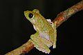Frilled Tree Frog (Rhacophorus appendiculatus) (8066359881).jpg