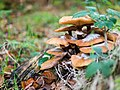 Fungus with fungus on top (10493608824).jpg