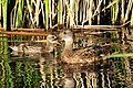 Gadwall hen and duckling 01 (14926353049).jpg