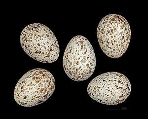 Thekla's lark - Eggs of Galerida theklae MHNT