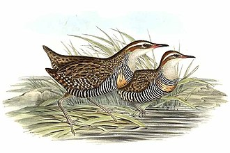 Buff-banded rail - Painting by John Gould.