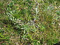 Gamochaeta calviceps plant9 Uralla (15070176559).jpg