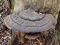 Ganoderma australe or Southern Bracket, Lambroughton Wood, Chapeltoun, North Ayrshire.jpg