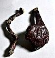 Ganoderma lucidum 40317453.jpg