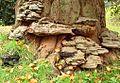 Ganoderma pfeifferi - Kupferroter Lackporling.JPG