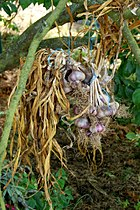 Garlic being dried.jpg