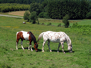 Pinto horse - Pinto (left), leopard-spotted Appaloosa (right)