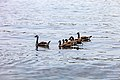 Geese (41667653330).jpg