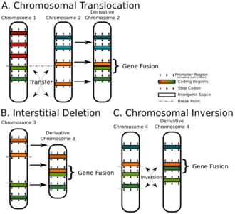 Fusion gene - A schematic showing the ways a fusion gene can occur at a chromosomal level.