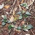 Gentiana sikokiana (leaf s7).jpg