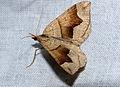 Geometrid Moth (Scotopteryx angularia) (14684579676).jpg