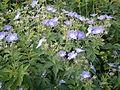 Geranium sylvaticum01.jpg