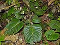 Gesneriaceae (Epithema sarawakense) (15317246117).jpg