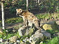 Gevlekte hyena (2).JPG
