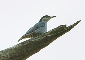 Giant Nuthatch - Chiang Mai - Thailand S4E0503 (19607332115) (cropped).jpg