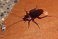 Giant cockroach (5963301152).jpg