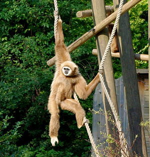 Lar gibbon - A lar gibbon hanging and playing on rope in Lille Zoo, France