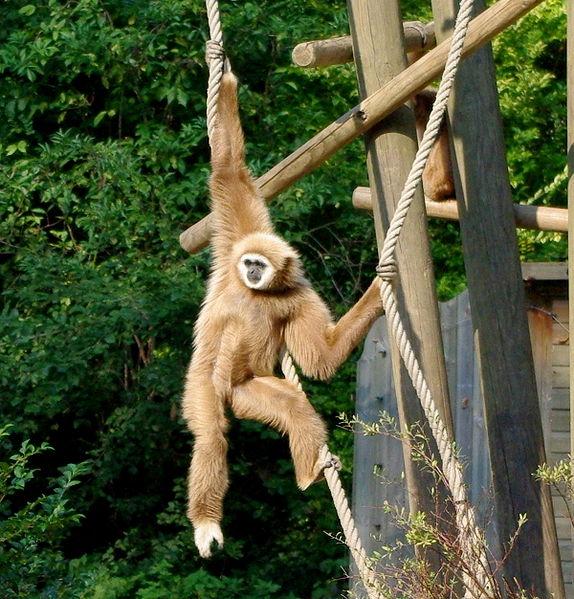 Les gibbons chantent avec un accent !