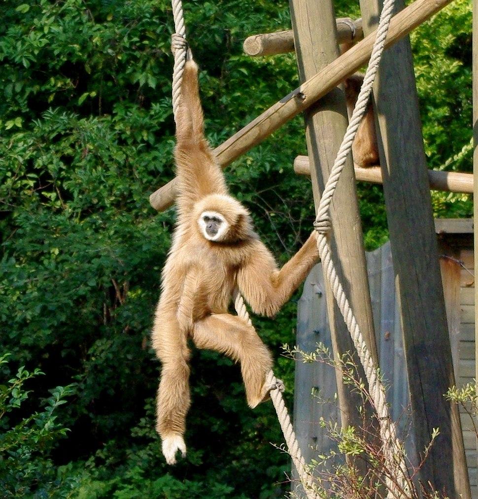 Gibbon à mains blanches (Zoo de Lille Nord)