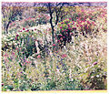 Gibraltar flora, Sanger Shepherd process, 1903 or 1904.jpg