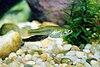 Gila topminnow Poeciliopsis occidentalis