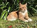 Ginger house cat.jpg