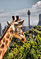 Giraffa camelopardalis (5407058034).jpg