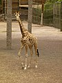 Giraffa camelopardalis - Giraffe - Girafe - Oasis Park - 02.jpg