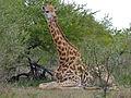Giraffe (Giraffa camelopardalis) resting (12008231373).jpg
