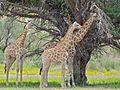 Giraffes (Giraffa camelopardalis) (7042371591).jpg