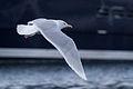 Glaucous Gull (Larus hyperboreus) (13667579863).jpg