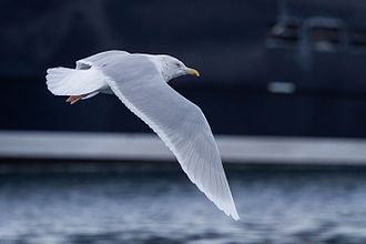 Glaucous - Image: Glaucous Gull (Larus hyperboreus) (13667579863)